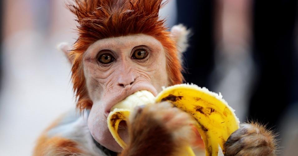 23.out.2016 - Macaco come banana durante intervalo da apresentação da qual participava em centro cultural de Islamabad, no Paquistão