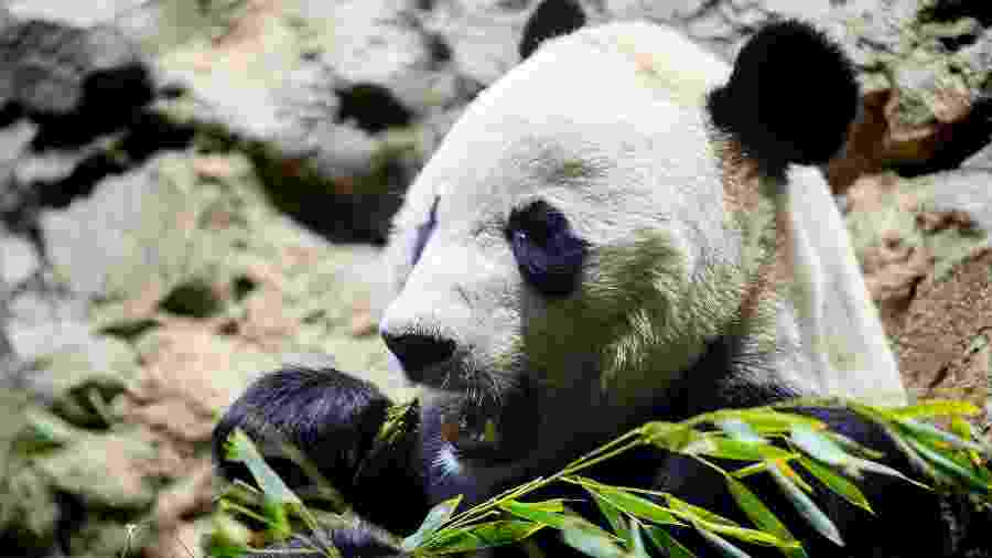 14.nov.2019 - Panda Bei Bei comendo bambu no Zoológico Nacional, em Washington - Jim Watson/AFP