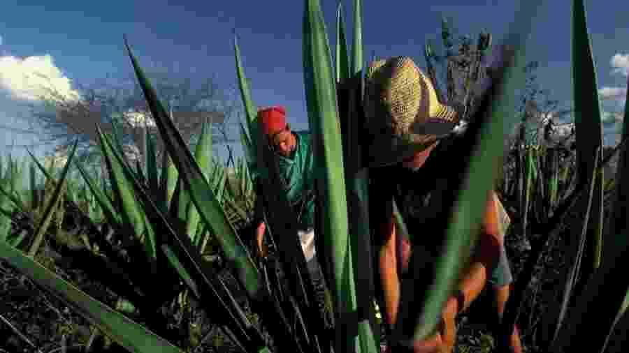 Menor de idade trabalha com a família em plantação de sisal no interior da Bahia - LightRocket via Getty Images
