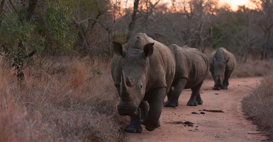 24.ago.2016 - Rinocerontes brancos passeiam na Reserva Kapama, na África do Sul. Graças aos esforços de preservação, os rinocerontes brancos - cobiçados por causa dos chifres - são os menos ameaçados de extinção da espécie