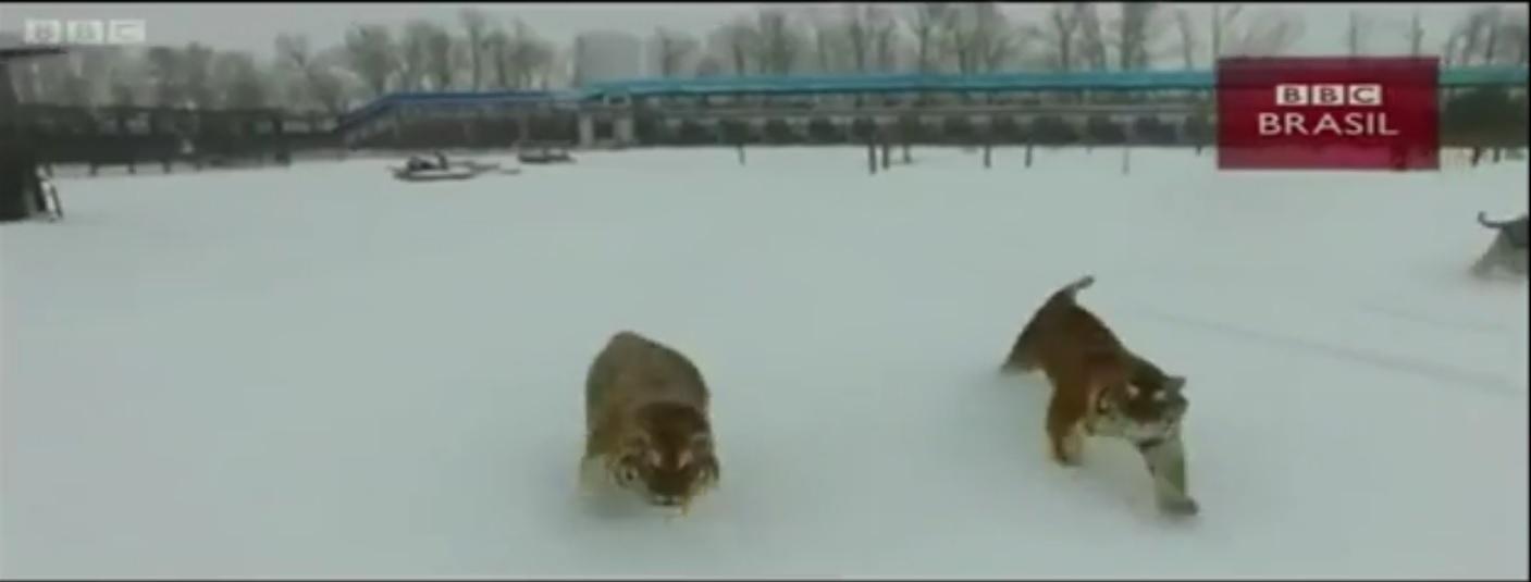 27.fev.2017 - Tratadores de parque, na China, desenvolveram atividade para fazer com que tigres siberianos com risco de obesidade emagreçam, capturando drones.