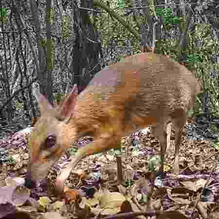 Cervo-rato foi visto em floresta do Vietnã - Divulgação/Global Widlife Conservation