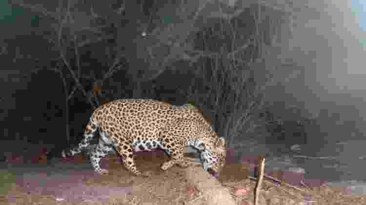 Mais rara na Caatinga, onça-pintada normalmente sai para caçar à noite - imagens do animal são obtidas por meio de 'armadilhas fotográficas' - Amigos da Onça/Divulgação