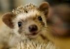 Quer brincar com um porco-espinho? É só desembolsar R$ 34 por hora no Japão - Thomas Peter/Reuters
