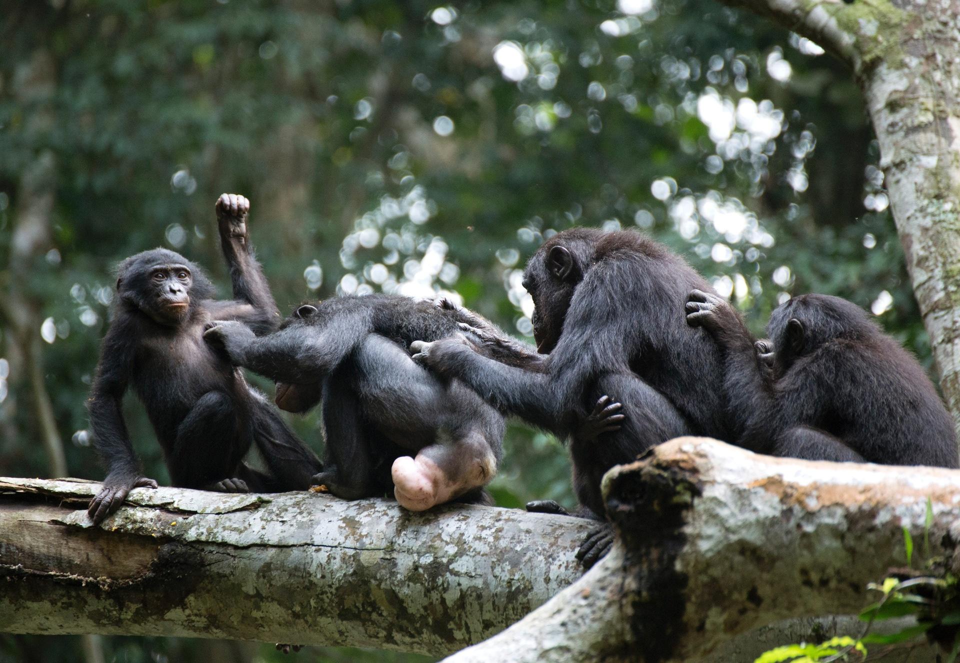 Grupo de bonobos fêmea se une contra agressão de machos em reserva na floresta Wamba, na República Democrática do Congo