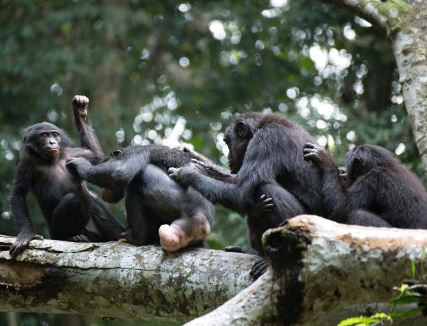 Grupo de bonobos fêmea se une contra agressão de machos na floresta Wamba