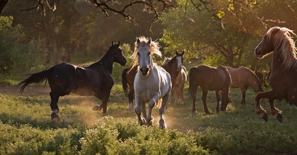 4.nov.2015 - Por cerca de 15 anos, o garanhão branco conhecido como Phantom pastou com seu bando por Dayton, Nevada (EUA). O Departamento de Agricultura do Estado tentou duas vezes realocá-los em um campo a 16 km de distância, mas sempre voltavam à cidade. Por fim, os moradores levantaram cerca de US$ 4 mil para levá-lo para o Santuário de Cavalos Selvagens da Califórnia, que aparece nesta imagem