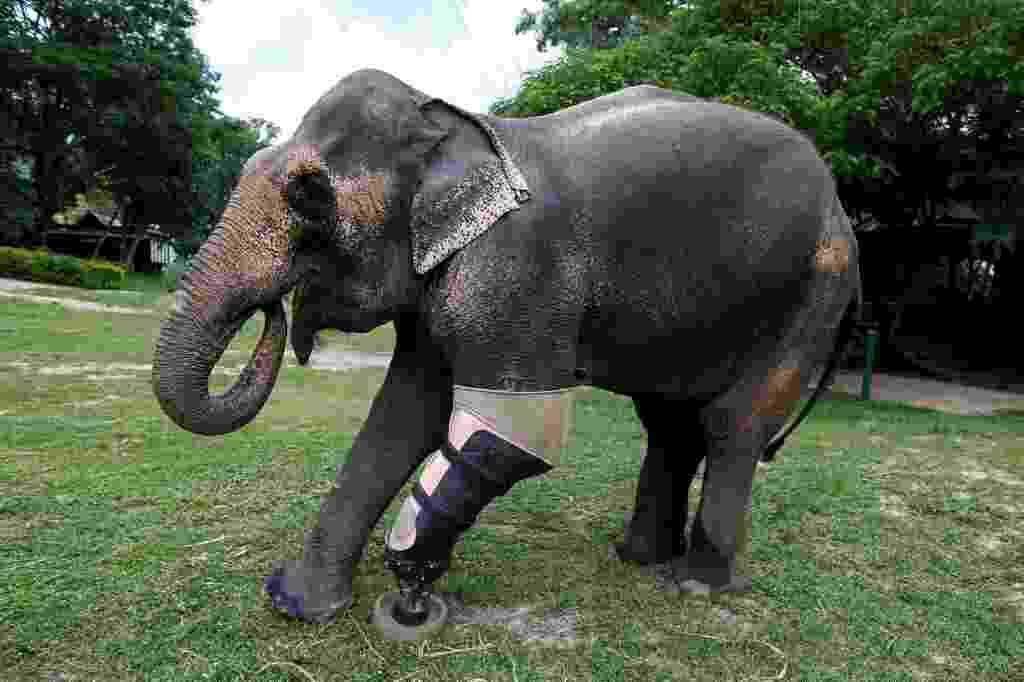 30.jun.2016 - O elefante chamado Motola testa uma prótese de pata para conseguir voltar a andar sem dificuldades na Fundação Asiática para Elefantes em Lampang, na Tailândia. O animal perdeu parte do corpo ao pisar em uma mina terrestre - Athit Perawongmetha