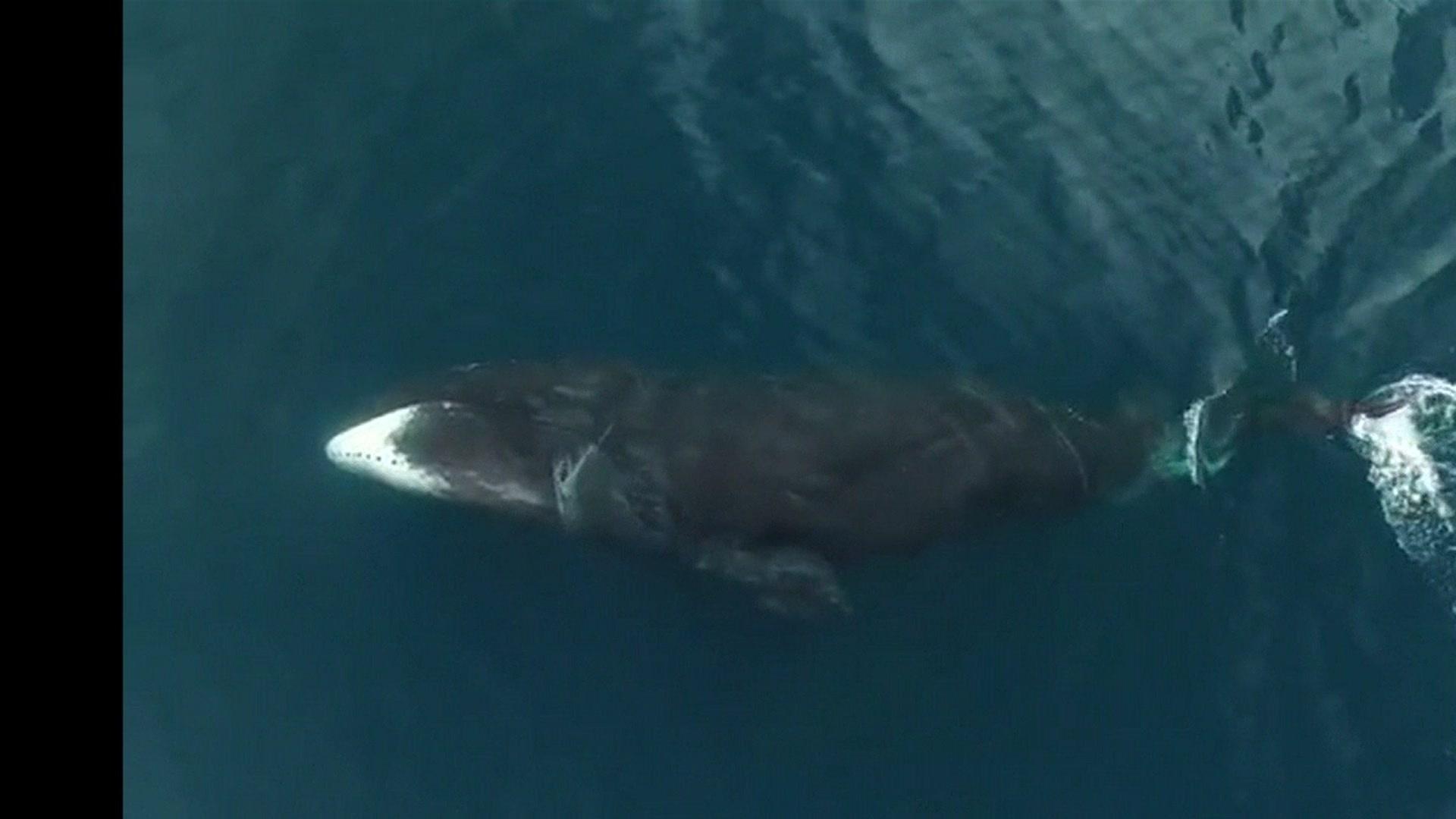 31.out.2016 - Usando drones, cientistas canadenses fizeram registros raros de baleias-da-groenlândia nadando pelas águas gélidas do Ártico
