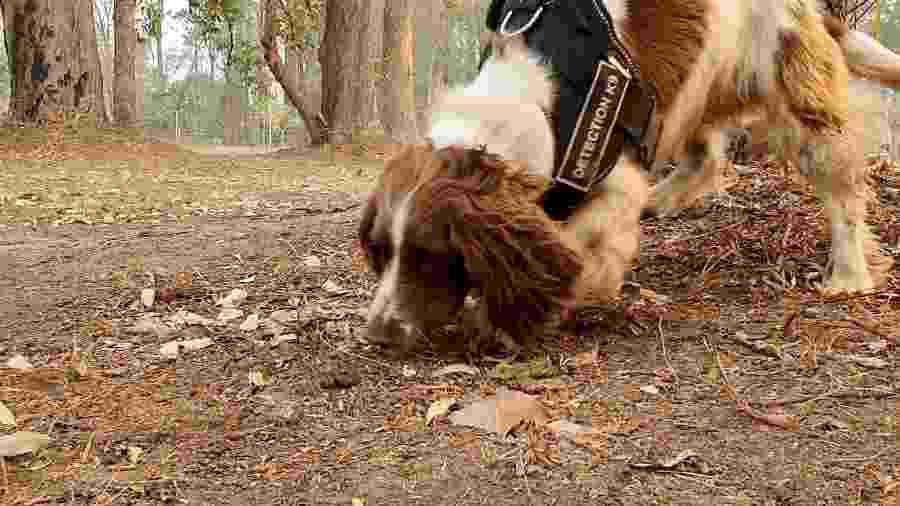 2.nov.2019 - Taylor, uma cadela que detecta coalas, participa ativamente dos trabalhos de socorro desses animais durante os incêndios florestais na Austrália - Tate Animal Training Enterprises
