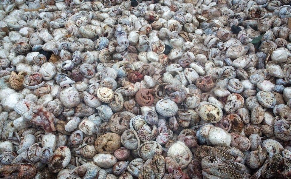 19.out.2016 - The Pangolin Pit (A Cova do Pangolim) foi a vencedora na categoria Imagem Única. A foto mostra um carregamento de 4.000 pangolins congelados, que seria contrabandeado da ilha de Sumatra para os mercados da China e do Vietnã