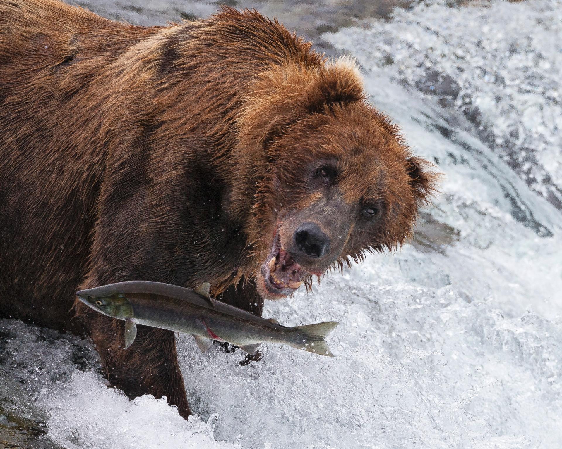 URSO FAMINTO - Um urso marrom (Ursus arctos) observa faminto o salto de um salmão-vermelho (Oncorhynchus nerka) no Alasca, EUA