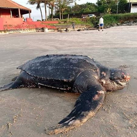 Tartaruga-gigante encontrada morta media 1,92 de comprimento e tinha 226 kg - Divulgação/Instituto Biopesca