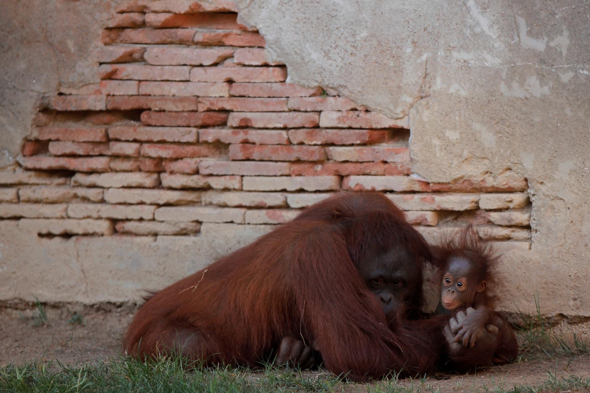 12.set.2016 - A orangotango Sulli mostra seu amor de mãe e não larga a filhote de cinco meses de idade Bornean, em Fuengirola, na Espanha