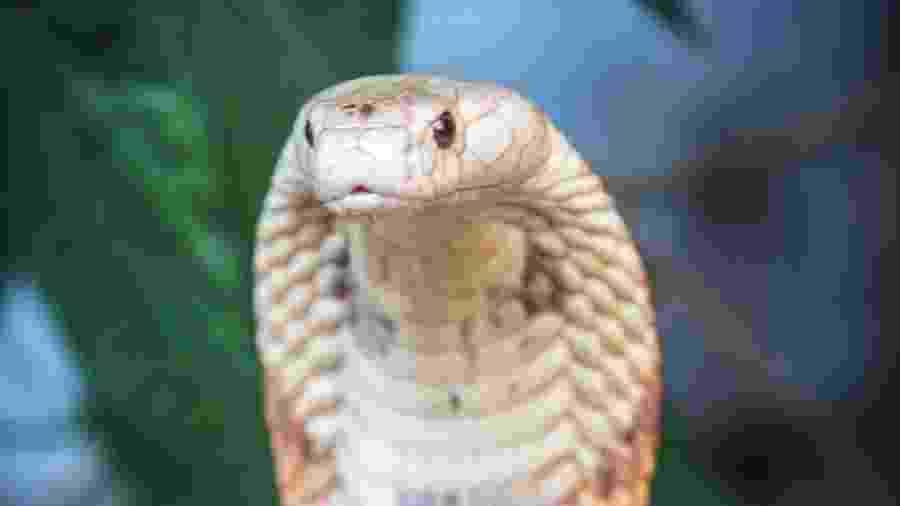 Cobras apreendidas em Brasília chegaram ao Museu Biológico - Ivan Mattos/Zoológico de Brasília