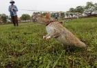 No Camboja, ratos ajudam a detectar minas terrestres e até tuberculose - Samrang Pring/Reuters