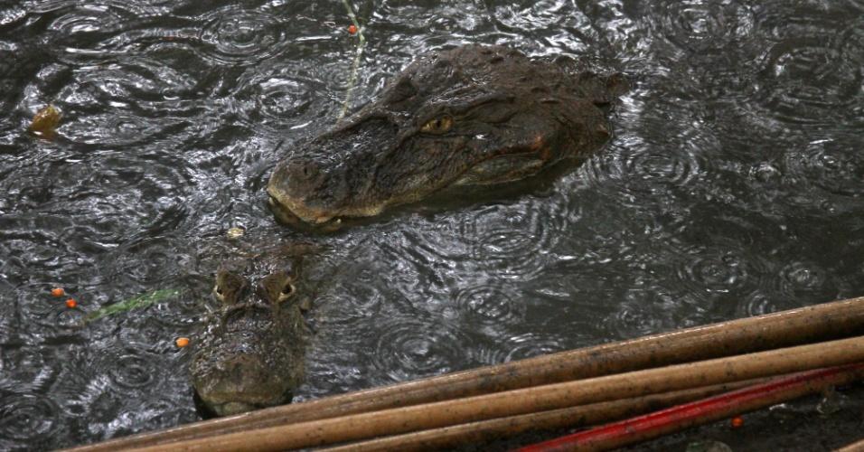1°.mar.2016 - Jacarés-de-papo-amarelo foram encontrado nas margens do Canal das Tachas, no Recreio dos Bandeirantes, zona oeste do Rio de Janeiro, que está com o nível de água mais alto devido às chuvas na cidade