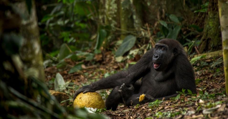 A foto do gorila comendo sua fruta de café da manhã foi feita pelo holandês Daniel Nelson, premiado na categoria Jovem Fotógrafo da Vida Selvagem (entre 15 e 17 anos). O gorila-da-planície tem cerca de nove anos de idade, vive no Parque Nacional de Odzala, na República do Congo e é chamado de Caco pelos cuidadores. A espécie corre risco de extinção.