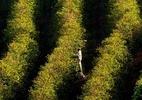 Safra de café 2019 do Brasil deve ser recorde para anos de baixa produção, diz Conab - Mauricio Lima/France Presse-AFP