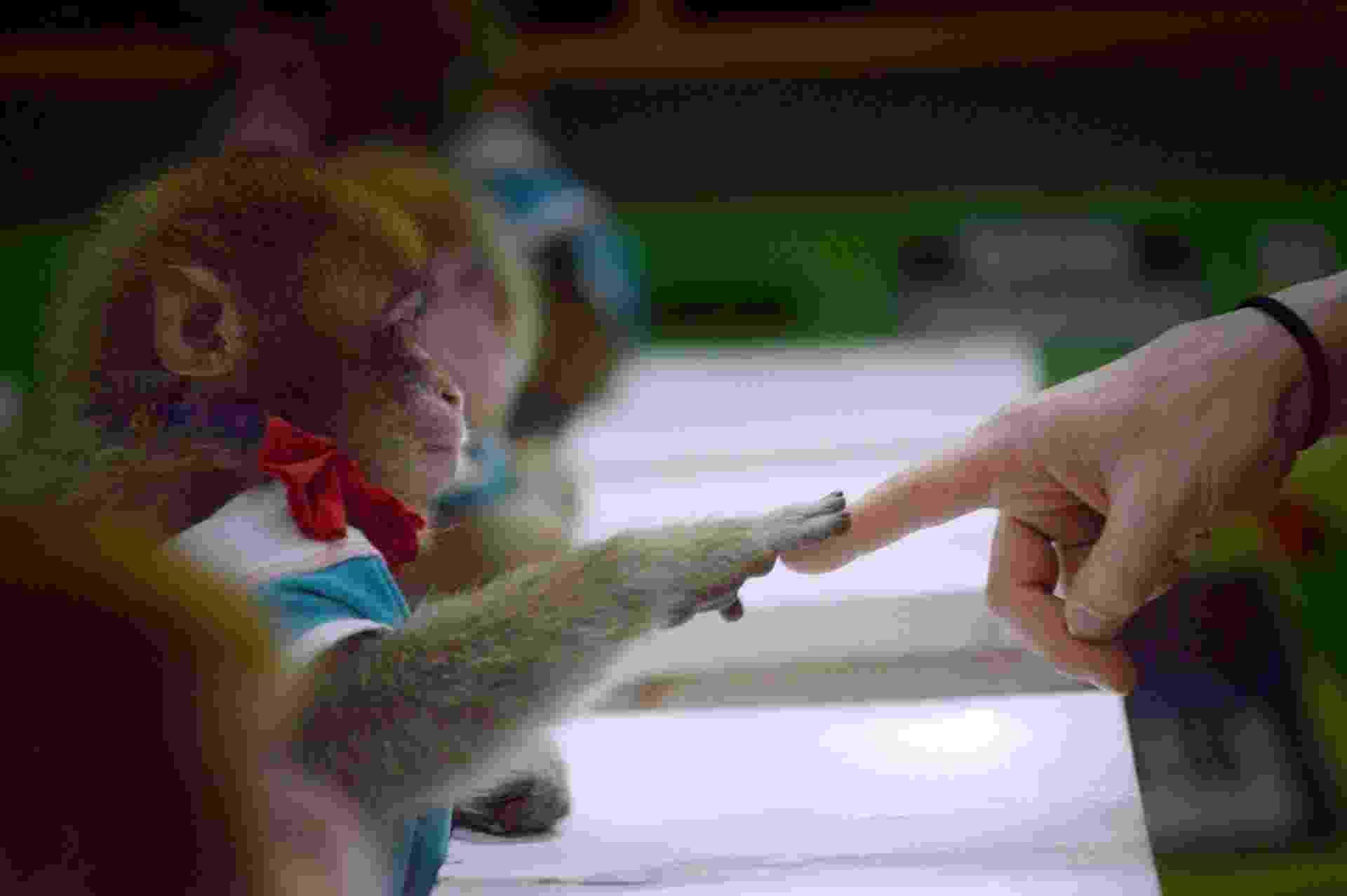 Macacos são treinados em sala de aula do zoológico chinês de Dongying. Eles se apresentarão em comemoração ao Ano Novo Chinês do macaco. - Wang Zhao/AFP