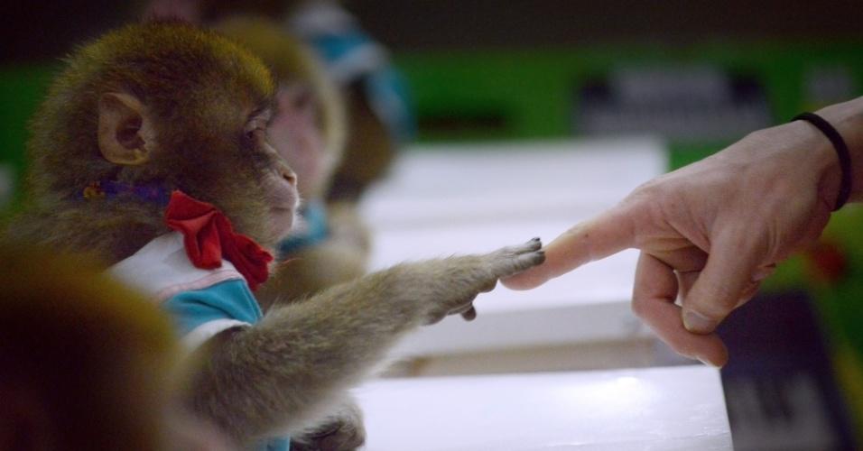 Macacos são treinados em sala de aula do zoológico chinês de Dongying. Eles se apresentarão em comemoração ao Ano Novo Chinês do macaco.