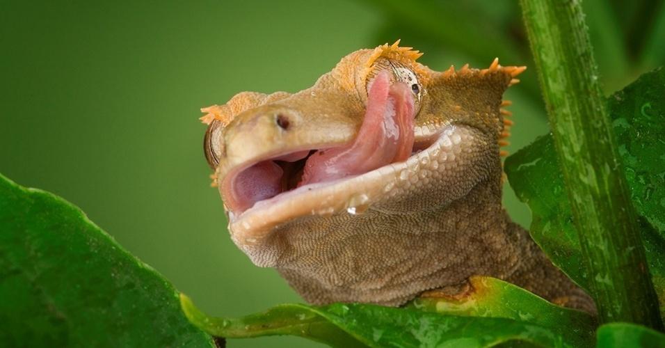 1º.mar.2016 - Sem pálpebras, esse lagarto da Nova Caledônia, um arquipélago da Oceania, protege os olhos com a língua