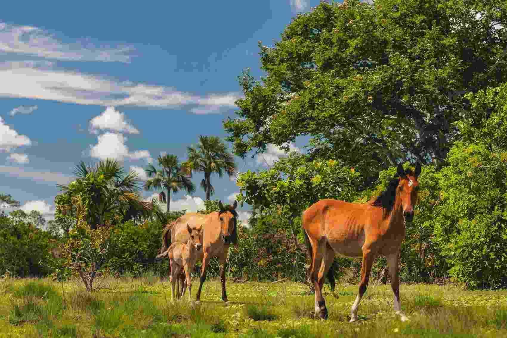 Cavalos ficam soltos no pasto em comunidade no oeste baiano. Há 300 anos morando na região, as famílias desenvolveram jeito de viver do cerrado compartilhando áreas comuns - Gui Gomes/Repórter Brasil