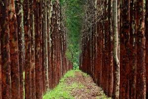 Florestas plantadas no Brasil alcançam área equivalente a de Pernambuco (Foto: Ernesto Rodrigues/Folhapress)