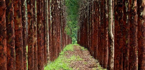 Plantio de eucaliptos em projeto de integração lavoura, pecuária e floresta em Ipameri (GO) - Ernesto Rodrigues/Folhapress