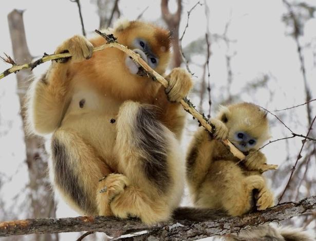 13.jan.2016 - Macacos-dourados dividem graveto na Reserva Natural de Shennongjia, em Hubei, da China. O local é casa dos macacos dourados, espécie ameaçada de extinção