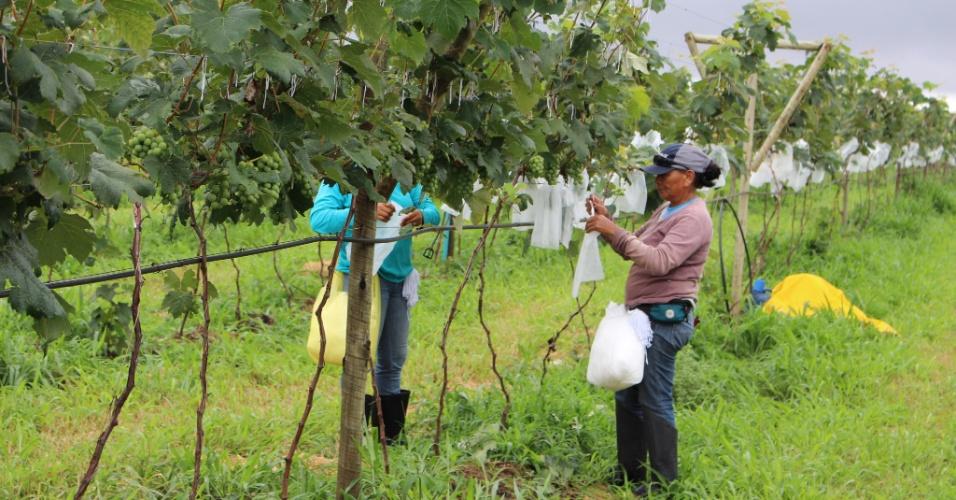 Mulheres trabalhando em plantação de uva na Fazenda Realeza em Cristalina (GO). Fruticultura gera dois empregos por hectare, 200 vezes mais do que a soja.