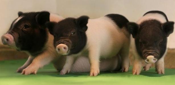 Cientistas usaram técnica de edição de DNA para eliminar vírus de porcos