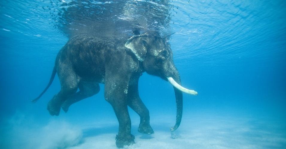 19.ago.2016 - Um elefante-asiático nada no oceano Índico. Os corpos grandes e flutuantes dos elefantes permitem que eles boiem com facilidade, tornando-os nadadores de alto nível