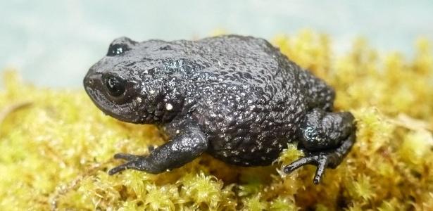 """A """"Rana de Chaparro"""" (Phrynopus chaparroi) é uma das novas espécies descobertas"""