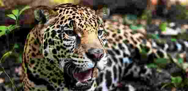 2012 - Onça-pintada em Laguna Om, no México - WWF/AFP - WWF/AFP