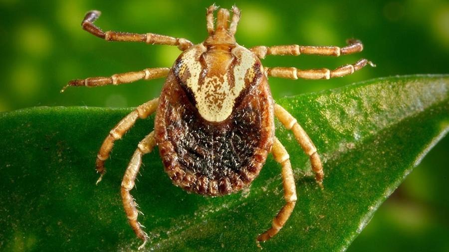Carrapatos são transmissores da doença - Christopher Paddock James Gathany / CDC - Reprodução