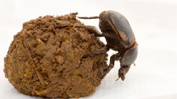 Os insetos ajudam a manter o planeta limpo, acelerando a decomposição dos resíduos biológicos - Getty Images