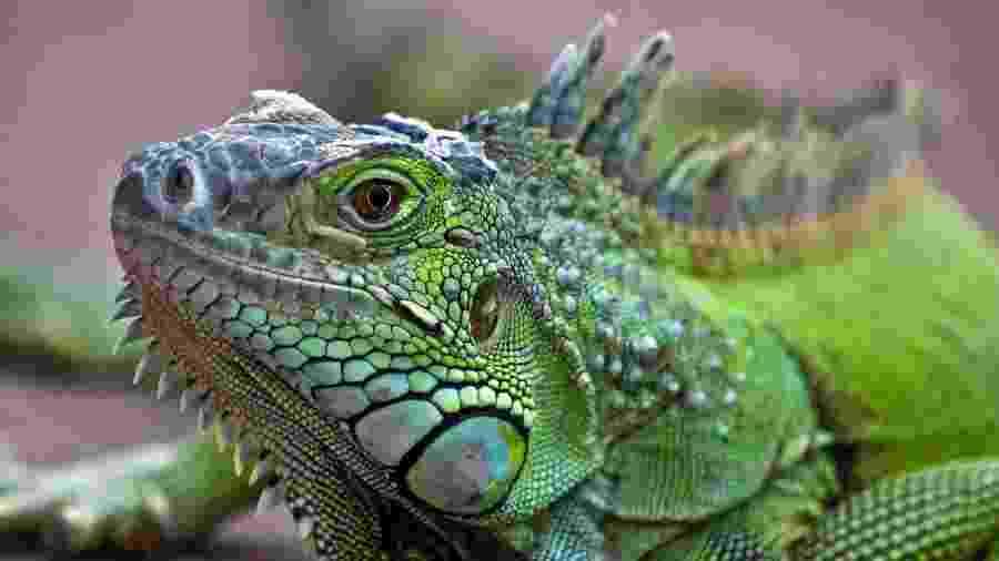24.nov.2013 - Iguana na África do Sul - Getty Images/RooM RF