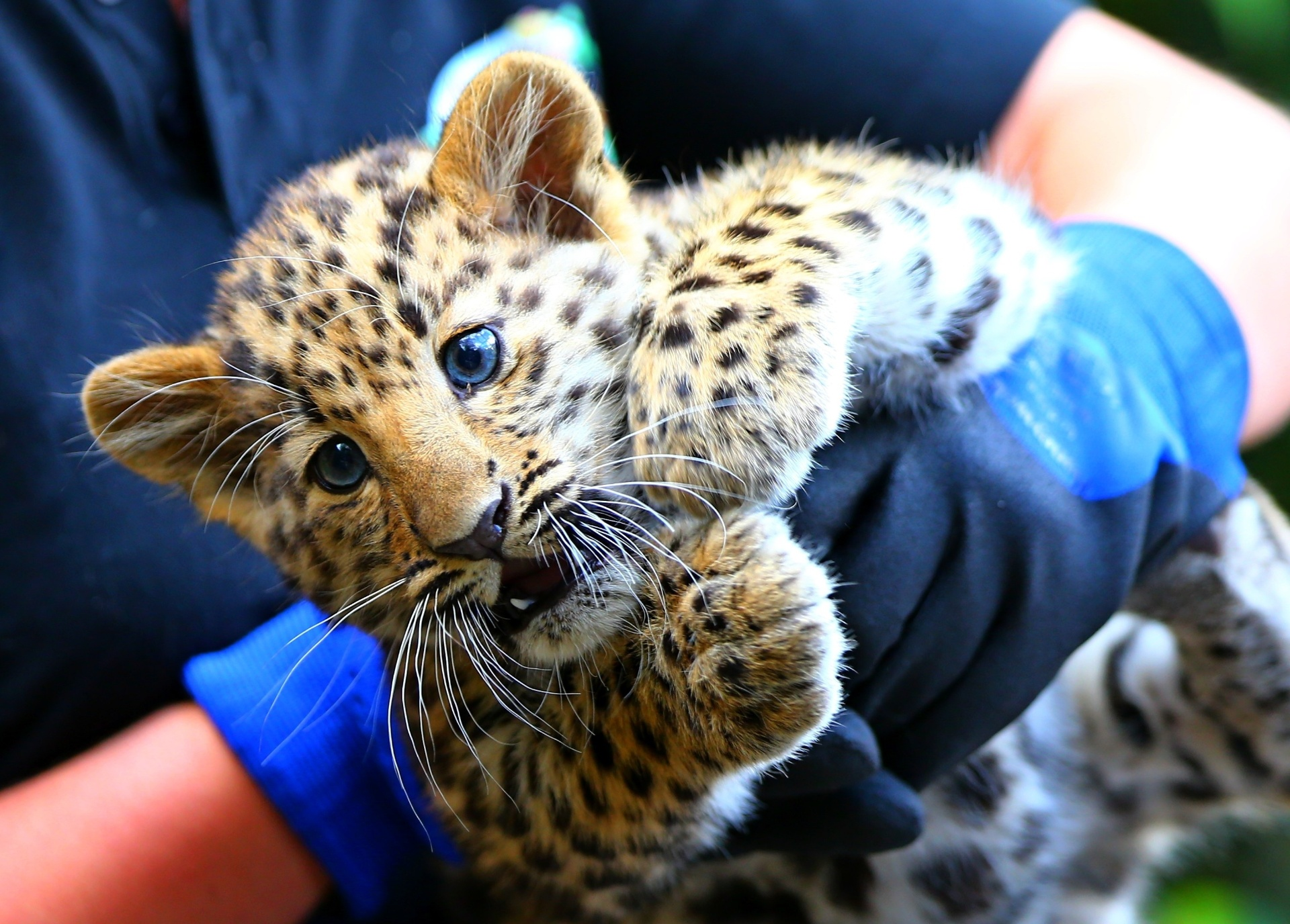 7.ago.2016 - Funcionário segura um filhote de leopardo-de-amur no parque Bellewaerde em Ieper, na Bélgica. Dois filhotes da espécie nasceram em maio e foram tornados públicos recentemente. Os leopardos-de-amur estão na lista vermelha de espécies criticamente ameaçadas da União Internacional para a Conservação da Natureza. Acredita-se que restam 70 mil deles na natureza
