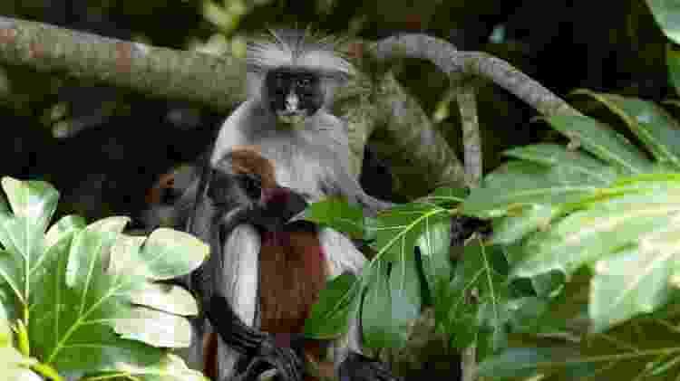 O colobus vermelho de Zanzibar é um dos parentes mais próximos do desaparecido colobus vermelho de Miss Waldron - Getty Images
