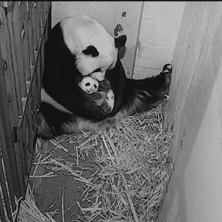 O filhote de panda tem dois meses e apenas engatinha - Instagram/@smithsonianzoo