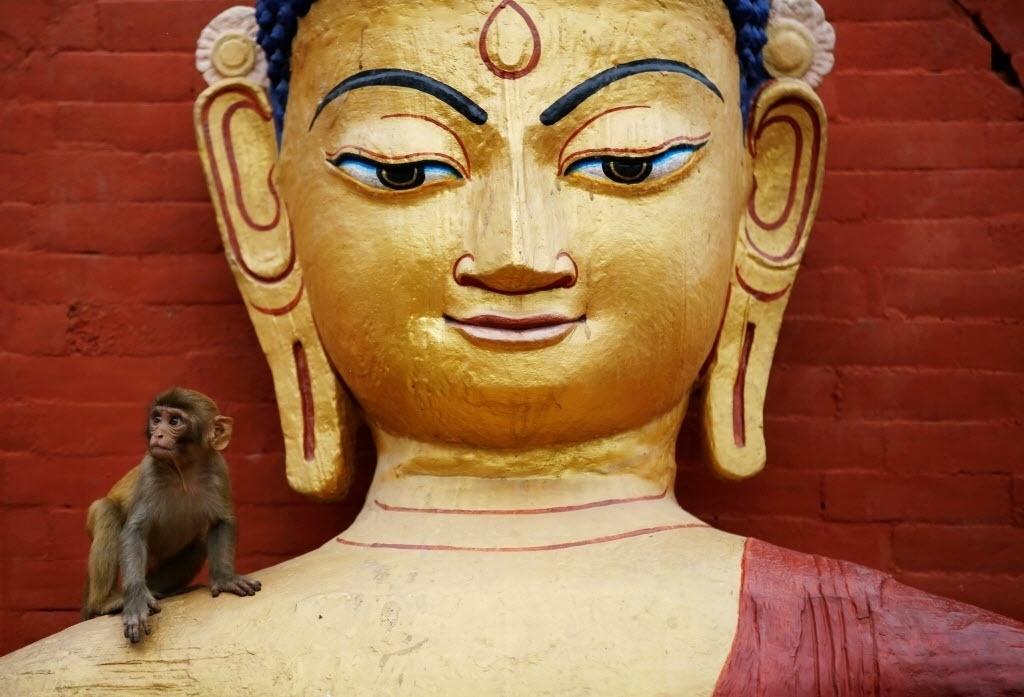 21.mai.2016 - Um macaco se senta em uma estátua durante celebrações do Dia de Vesak, em Katmandu, no Nepal. O evento acontece toda lua cheia de maio, quando budistas celebram o aniversário de Buda, que nasceu há cerca de 2600 anos atrás