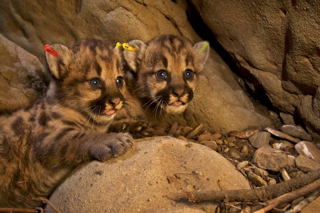 6.jul.2016 - Dois filhotes de leão encontrados nas montanhas de Santa Susana, próximo à Los Angeles, na Califórnia (EUA), são apresentados ao público. Os leões de olhos azuis nasceram de mães diferentes, mas do mesmo pai, segundo pesquisadores do National Park Service