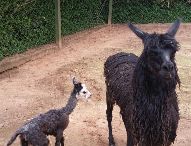 Filhote de alpaca que nasceu no último dia de 2015 vira atração em Bauru