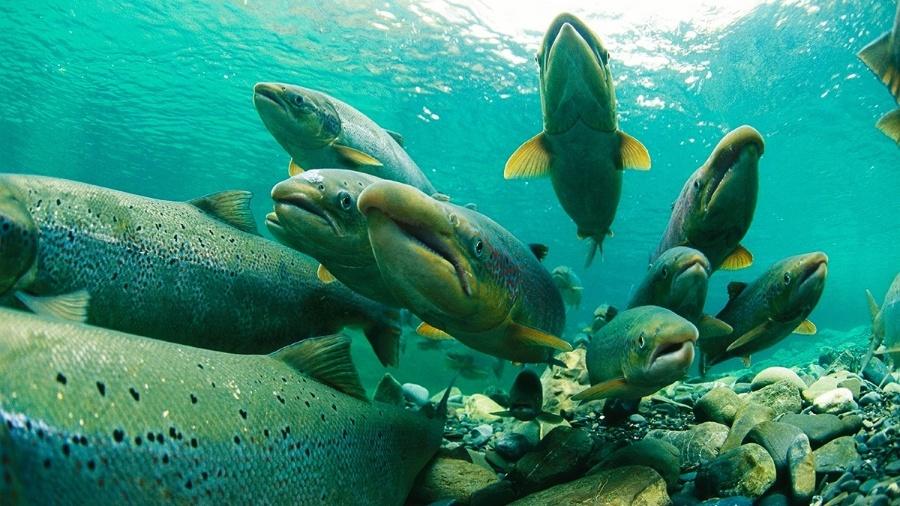 O salmão é um peixe anádromo, ou seja, nasce na água doce, migra para o mar durante a vida adulta e volta para a água doce para se reproduzir - Paul Nicklen/National Geographic Creative
