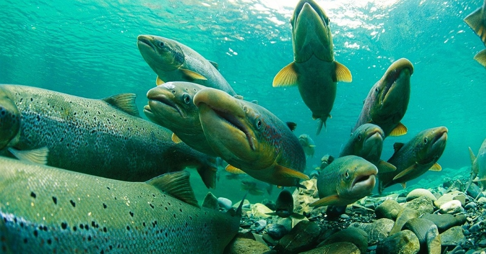 1º.ago.2016 - Salmões do Atlântico esperam para a desova em um rio de Quebeque, no Canadá. O salmão é um peixe anádromo, ou seja, nasce na água doce, migra para o mar durante a vida adulta e volta para a água doce para se reproduzir