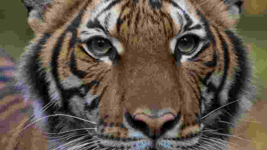 Tigresa Nadia, do zoológico do Bronx, testou positivo para a covid-19 - AFP PHOTO / Julie Larsen Maher / @WCS
