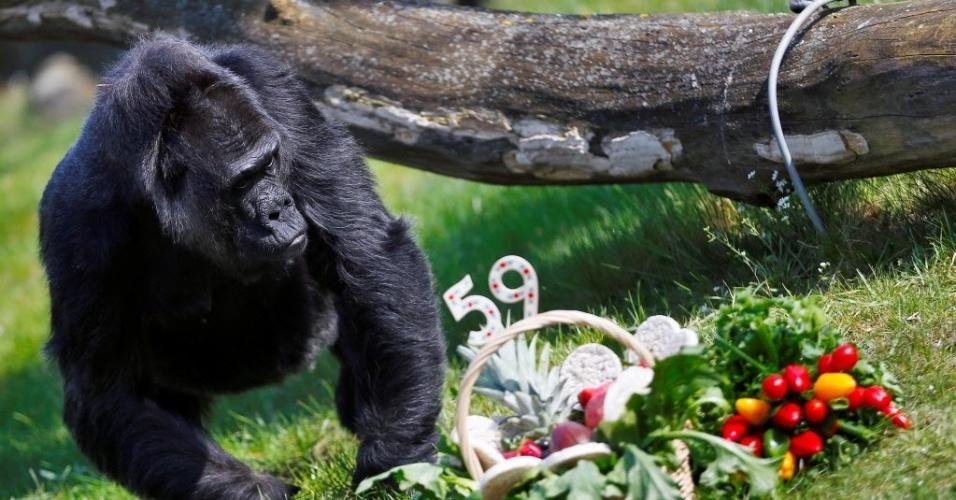 13.abr.2016 - A gorila Fatou, a segunda mais velha do mundo, ganhou uma cesta de frutas para celebrar o aniversário de 59 anos. no zoológico de Berlim, na Alemanha