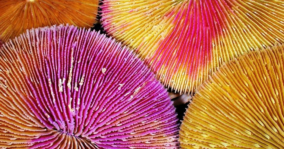 Coral cogumelo no recife Kingman, no Oceano Pacífico. Em resposta ao estímulo do ambiente, algumas espécies desse coral trocam de sexo (até mais de uma vez), sendo uma das poucas a fazer isso espontaneamente