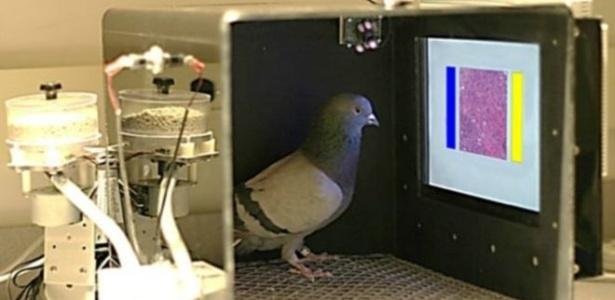 Pombos podem ser treinados para detectar câncer de mama por meio de imagens